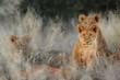 canvas print picture - Lion (Panthera leo) cubs. Kalahari, South Africa
