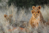 Lion (Panthera leo) cubs. Kalahari, South Africa