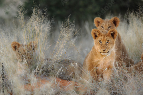 Photo  Lion (Panthera leo) cubs. Kalahari, South Africa