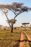 Fototapeta Sawanna - Group of elephants walking in beautiful national park Serengeti, Tanzania, Africa