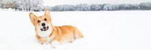 Welsh Corgi Pembroke On Snow In Winter Landscape. Corgi Dog Posing In Snowy Winter Nature. Copy Space