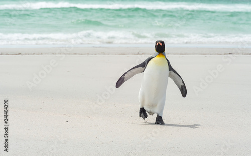Foto op Plexiglas Pinguin King pinguin walking at the beach
