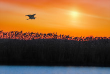 Great Blue Heron Flying Over A Pond At Sunrise