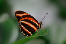 Closeup Side View Of Banded Orange Butterfly On Green Leaf