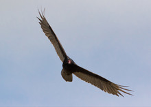 Turkey Vulture In Flight Looki...