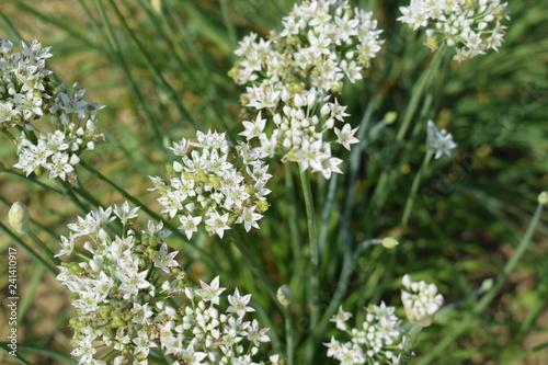 Fototapeta Kwitnący biały czosnek obraz