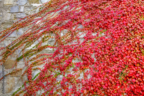 Fotografie, Obraz  Red ivy creeper growing on the wall.