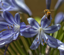 Macro Agapanthus With Bee On Flower