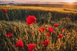 Red poppy near by rye field in beautiful sunrise light. Nice summer morning landscape in background