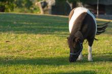 Lovely Dwarf Horse.