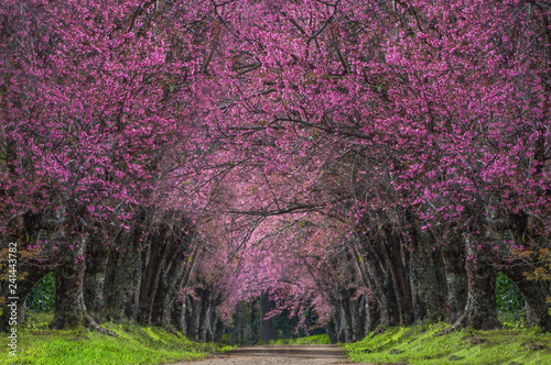 Foto auf Gartenposter Baume cherry blossoms in full bloom