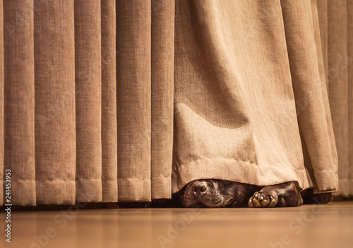 Cute Staffordshire Bull Terrier dog lying on a wood floor hiding under a curtain Wallpaper Mural