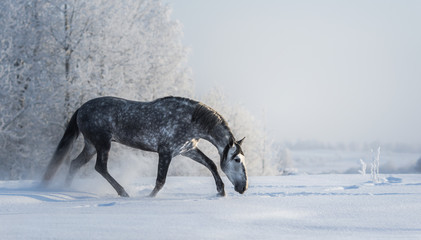 Spanish gray horse walks on freedom at winter time.