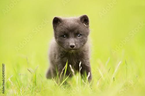 Tela Arctic fox cub in the grass field
