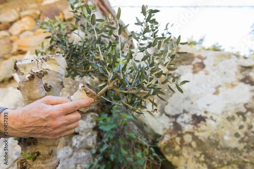 El dedo señala el exitoso injerto de un olivo