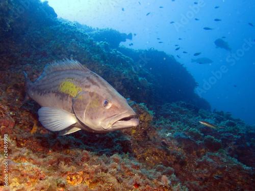 Obraz na dibondzie (fotoboard) Gruczołowate są rybami dowolnego rodzaju z podrodziny Epinephelinae z rodziny Serranidae, w kolejności Perciformes.