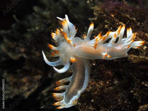 Obraz na dibondzie (fotoboard) Ślimaki nagoskrzelne to grupa miękkich, morskich mięczaków ze skorupiaków, które zrzucają muszelki po stadium larwalnym