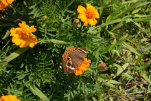Common Buckeye Butterfly Sips ...