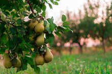 Pear Fruit Garden With Grown S...