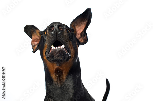 Fotografía Doberman dog snaps in the air on white background