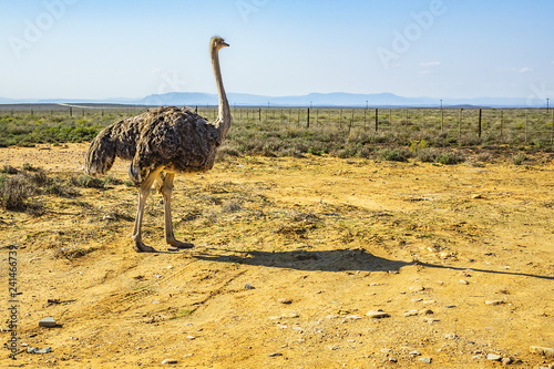 Stickers pour portes Autruche Large African ostrich (Struthio camelus) in the grassland, South Africa.