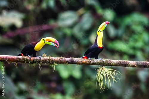 Foto op Aluminium Toekan Keel-billed Toucan - Ramphastos sulfuratus, large colorful toucan from Costa Rica forest with very colored beak.
