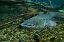 Curious Big Catfish.
