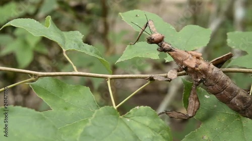 Giant Leaf Insects of South East Asia Fototapet