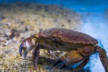 Closeup Of A Brown Crab, A Rob...