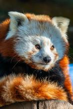 The Red Panda (Ailurus Fulgens)