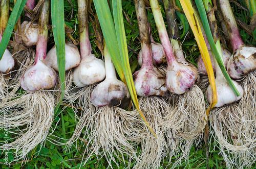 garlic grass harvesting stems