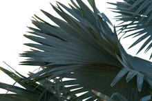 Fan Shaped Green Leaves Of A T...