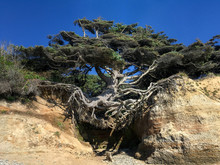 Tree With Exposed Roots