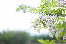White Flowers Tree Acacia. Blooming Clusters Of Acacia. Honey Spring Plant. Collect Nectar. Plant With Healthy And Delicious Honey.