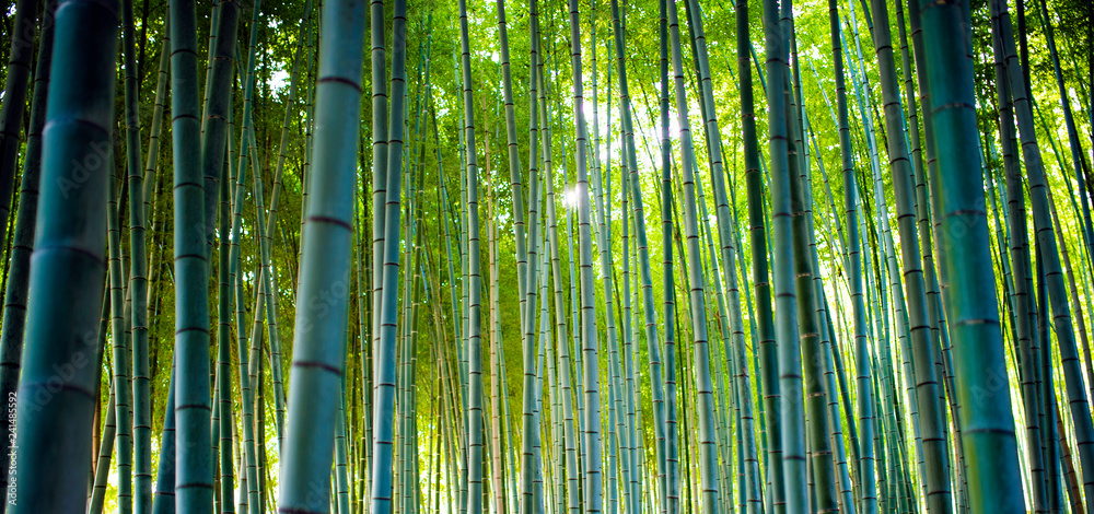 Bamboo Groves, bamboo forest in Arashiyama, Kyoto Japan.