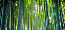 Bamboo Groves, Bamboo Forest I...