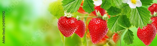 Photo sur Aluminium Jardin harvest garden strawberry