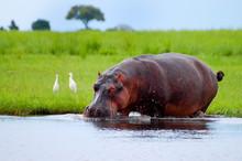 Hippopotamus - Chobe National ...