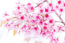 Closeup Shot Of Beautiful Wild Himalayan Cherry (Prunus Cerasoides) Isolated Over White Background