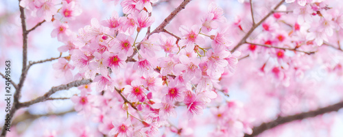 Closeup shot of Beautiful Wild Himalayan Cherry (Prunus cerasoides) at Doi Inthanon, Chiang Mai, Thailand.