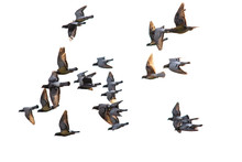 Flying Flock Of Speed Racing Pigeon Isolate White Background