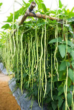 Cowpea Or Long Bean Agriculture Background. Long Green Bean Farming
