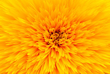 Close Up Sunflower Petal Background Texture. Macro Of Sunflower Blooming Texture