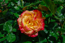 Close-up Of Orange And Pink Rose With Rain Drops Over Blurred Dark Green Leaves