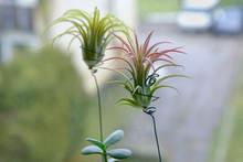 Air Plant, Tillandsia Ionantha, Houseplant Succulent No Pot On Windowsill. Tillandsias Are Low-maintenance Plants That Require No Soil, Just Plenty Of Water, Sunlight, And Airflow.