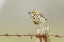 A Meadow Pipit ( Anthus Pratensis) Perched On A Fence Post With A Earthworm And Insects In Its Beak To Feed To Its Babies.