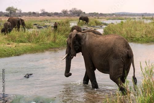 Aluminium Prints Elephant Éléphant d'Afrique, Loxodonta africana, Parc national Kruger, Afrique du Sud