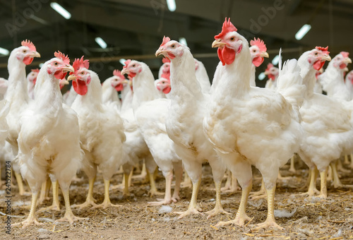 Photo sur Aluminium Poules White chickens farm