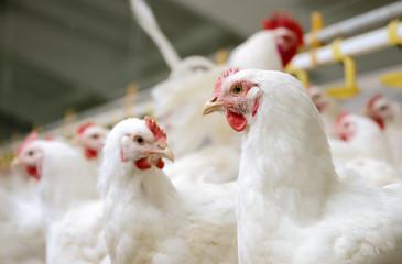 White chickens farm