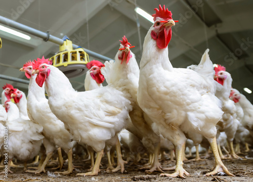 In de dag Kip White chickens farm